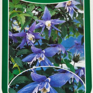 Waldrebe Maidwell Hall / Clematis macropetala Maidwell Hall