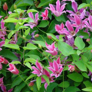 Texas-Waldrebe Duchess of Albany / Clematis tex. Duchess of Albany