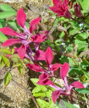 Texas-Waldrebe Gravetye Beauty, Clematis texensis Gravetye Beauty
