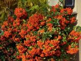 Feuerdorn Red Cushion, Pyracantha Red Cushion
