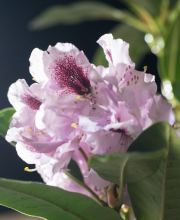 Rhododendron Maroon Sappho