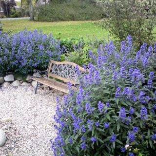 Bartblume Blue Balloon® / Caryopteris clandonensis Blue Balloon