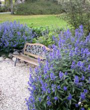 Bartblume Blue Balloon®, Caryopteris clandonensis Blue Balloon