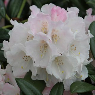 Rhododendron King Ride