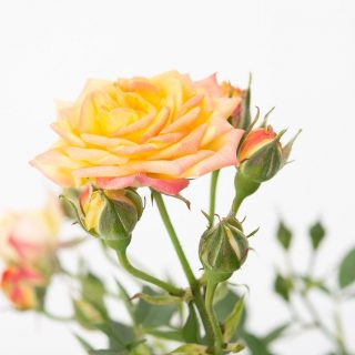 Rose Little Sunset ®