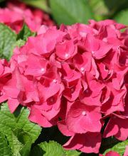 Ballhortensie Red Beauty, Hydrangea macrophylla Red Beauty