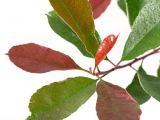 Glanzmispel Pink Marble, Photinia fraseri Pink Marble
