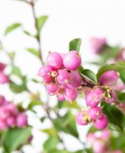Schneebeere Magical Sweet, Symphoricarpos doorenbosii Magical Sweet
