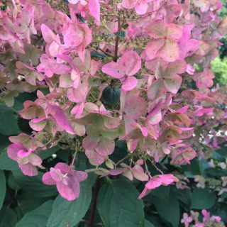 Rispen-Hortensie Wims Red / Hydrangea paniculata Wims Red
