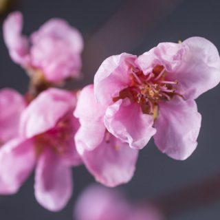 Nektarine Independence / Prunus nucipersica Independence