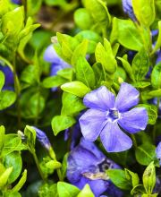 Immergrün Flower Power, Vinca minor Flower Power