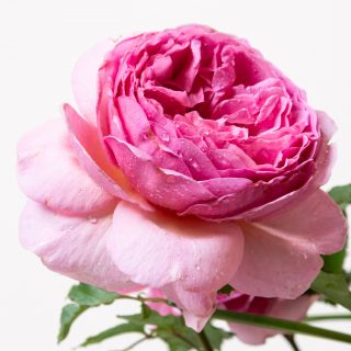 Rose Princess Alexandra of Kent / Rosa Princess Alexandra of Kent