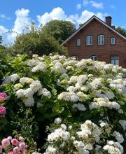 Weisse Endless Summer Hortensie