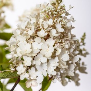 Rispenhortensie Great Star / Hydrangea paniculata Great Star