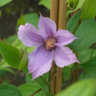 Waldrebe Star River / Clematis Star River