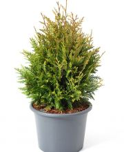 Lebensbaum Little Boy, Thuja plicata Little Boy