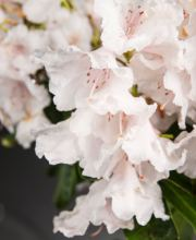 Rhododendron Candy Striped Pink
