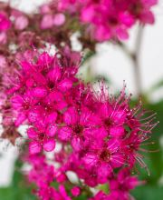 Roter Spierstrauch Darts Red, Spiraea japonica Darts Red