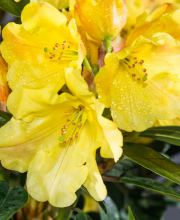 Rhododendron Golden Everest