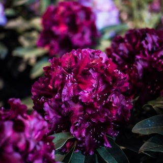 Rhododendron Midnight Beauty / Rhododendron Hybride Midnight Beauty