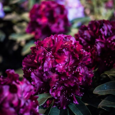 Rhododendron Midnight Beauty
