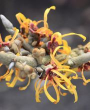 Zaubernuss Harry, Hamamelis intermedia Harry