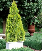 Lebensbaum Golden Smaragd®, Thuja occidentalis Golden Smaragd