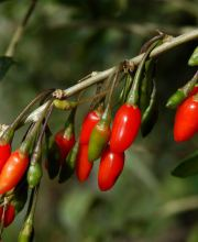 Goji-Beere Big Lifeberry ®, Lycium barbarum Big Lifeberry ®