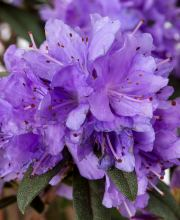 Rhododendron Luisella