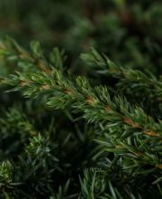 Teppichwacholder Green Carpet, Juniperus communis Green Carpet