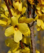 Forsythie Weekend, Forsythia intermedia Weekend