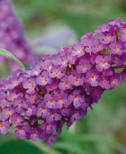 Sommerflieder Pink Purple, Buddleja davidii  Buzz Pink Purple