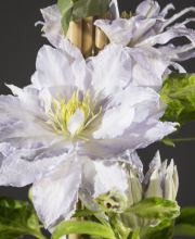 Waldrebe Dancing King, Clematis Dancing King