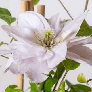 Waldrebe Dancing Queen / Clematis Dancing Queen