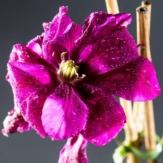 Waldrebe Red Star / Clematis Red Star