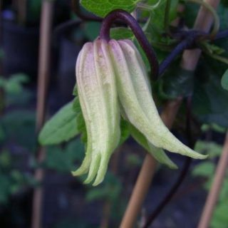Waldrebe Lemon Bells / Clematis chisanensis Lemon Bells