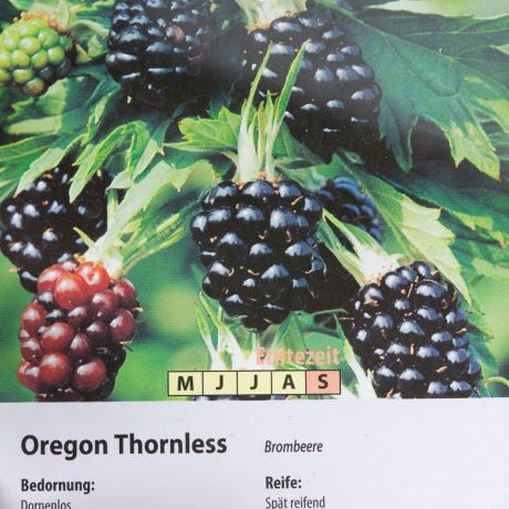 Brombeere Oregon Thornless