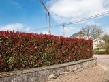Glanzmispel, Photinia fraseri Red Robin