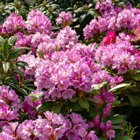Rhododendron INKARHO-Dufthecke, lila