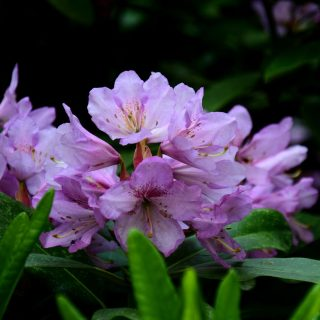 Rhododendron INKARHO-Dufthecke, lila / Rhododendron Hybride INKARHO-Dufthecke, lila