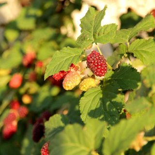 Riesen-Himbeere Tayberry / Rubus Tayberry