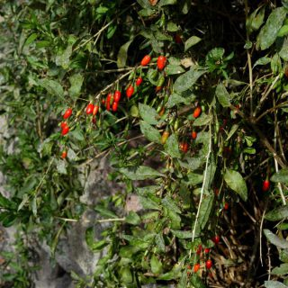 Goji-Beere No. 1 Lifeberry® / Lycium barbarum No. 1 Lifeberry