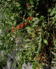 Goji-Beere No. 1 Lifeberry®, Lycium barbarum No. 1 Lifeberry
