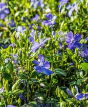 Buntblättriges Immergrün Variegata, Vinca minor Variegata