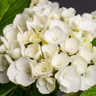 Gartenhortensie First White / Hydrangea macrophylla First White
