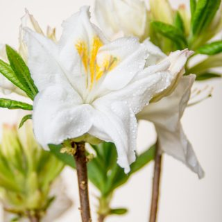 Rhododendron Persil / Rhododendron luteum Persil