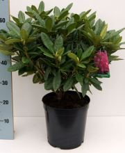 Rhododendron Hybride i.S., Rhododendron Hybriden i.S. PrGr II
