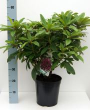 Rhododendron Hybride i.S., Rhododendron Hybriden i.S. PrGr III