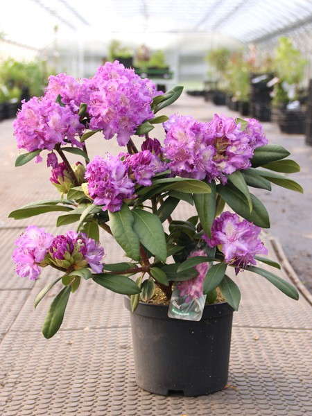 Rhododendron Alfred