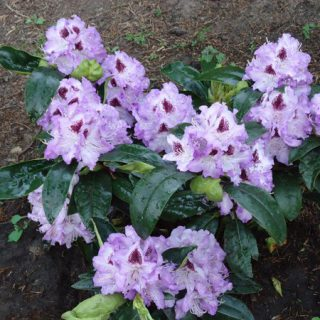 Rhododendron Blue Peter / Rhododendron Hybride Blue Peter